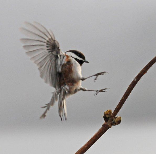 Chickadee landing - photo#10