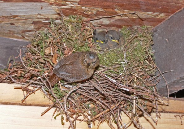 Winter Wren nest | Chickadees, Nuthatches, Creepers and