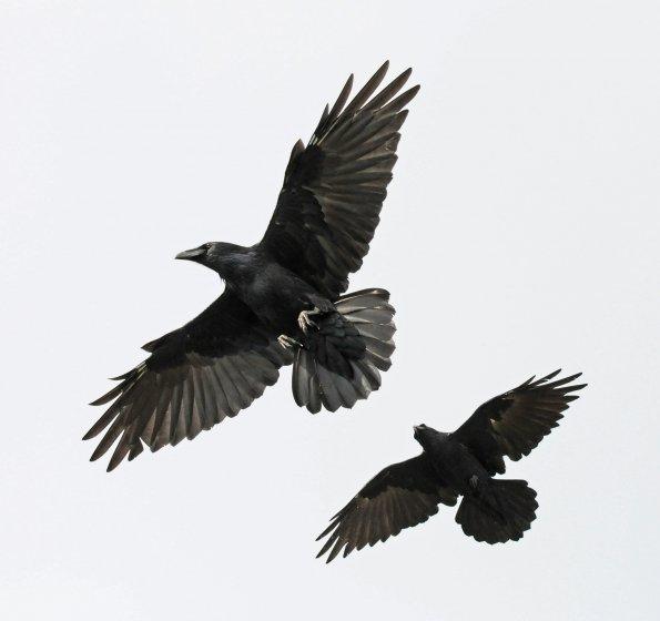 Ravens flying wallpaper - photo#52