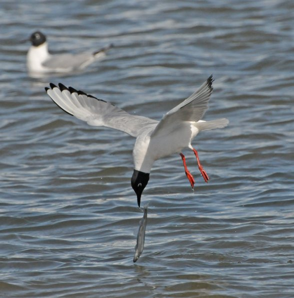Capelin, Bonapartes Gull feeding on 2