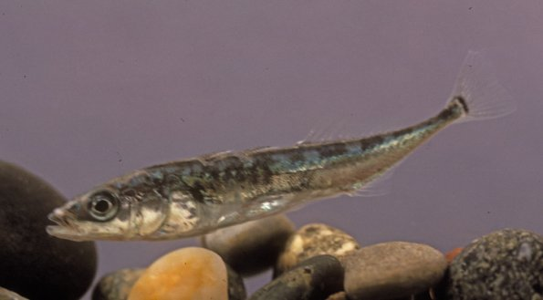 Three-spine Stickleback