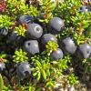 crowberry in the alpine 2, Juneau Alaska