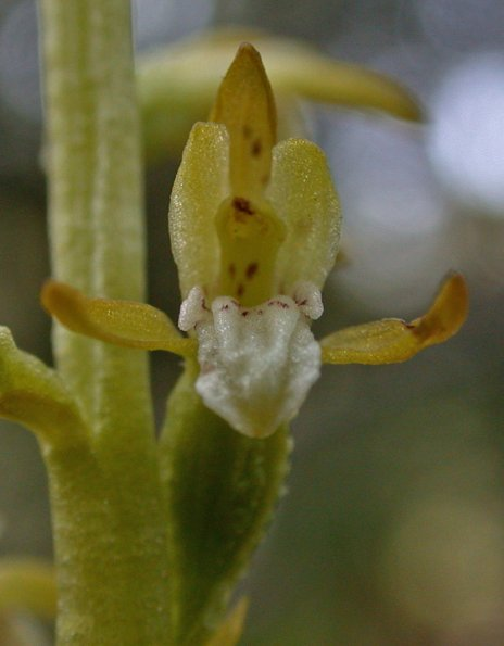early coral-root orchid