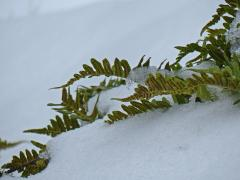 licorice fern in the snow