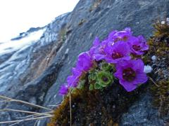 purple mountain saxifrage on April 10 at Nugget Falls
