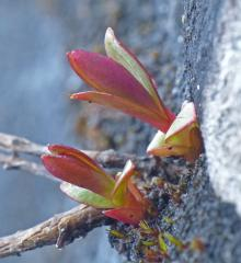 tiny plant 1 at Nugget Falls on April 10