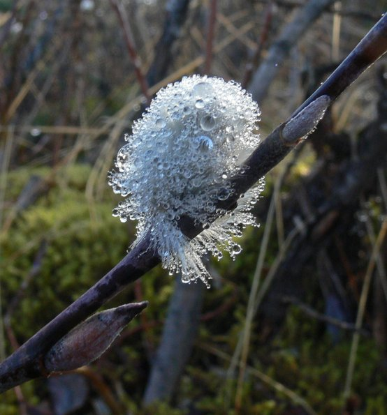 Willow Catkin with water droplets, Juneau