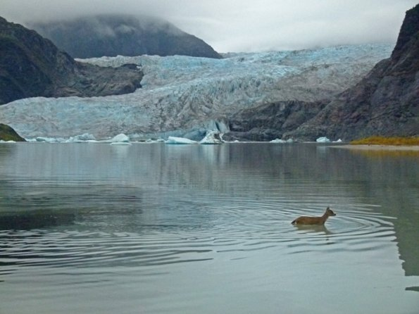 Sitka black-tailed deer and Mendenhall Glacier