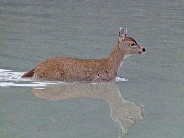 Sitka black-tailed deer in water 1