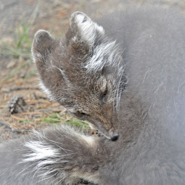 Arctic Fox captive 2