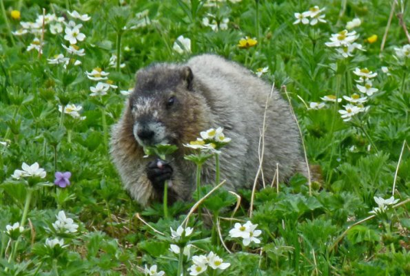Hoary Marmot eating Narcissus anemone