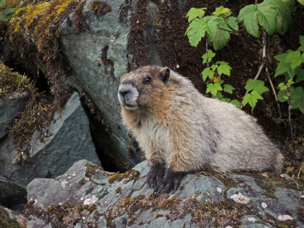 hoary marmot, ISO 100, hand-held, 1-100 sec. 1000mm