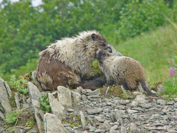 marmot and baby with fur pulled out 2