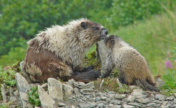 marmot and baby with fur pulled out