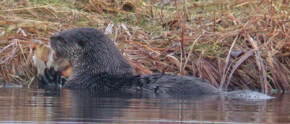 River Otter, eating staghorn sculpin, Juneau