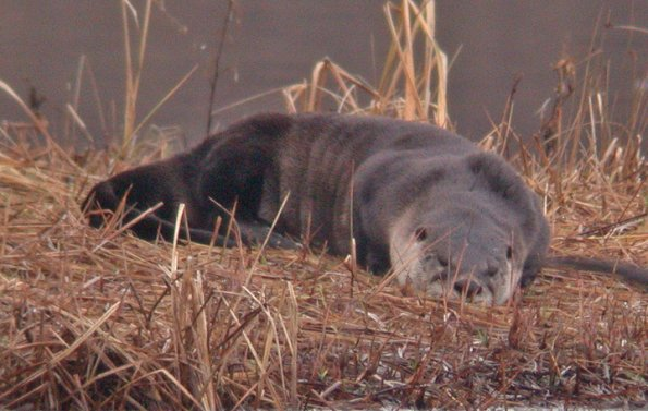 River Otter, taking a snooze, Juneau