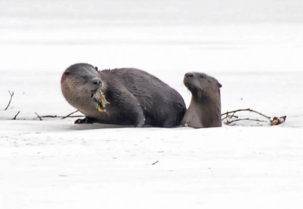 River Otters, one with sculpin