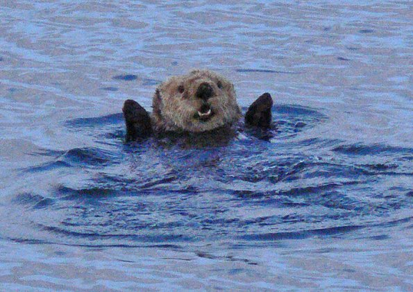 Sea Otter, Glacier Bay