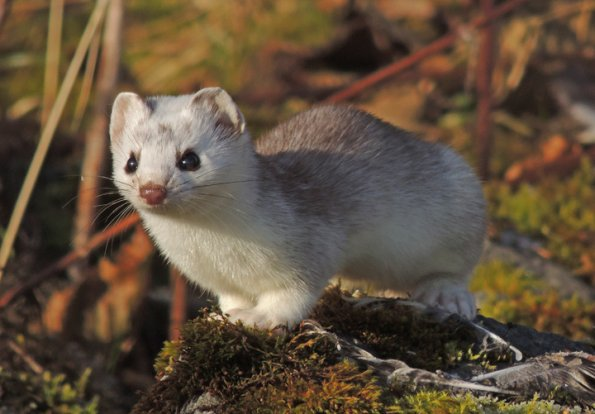 Baby short tailed weasel - photo#16